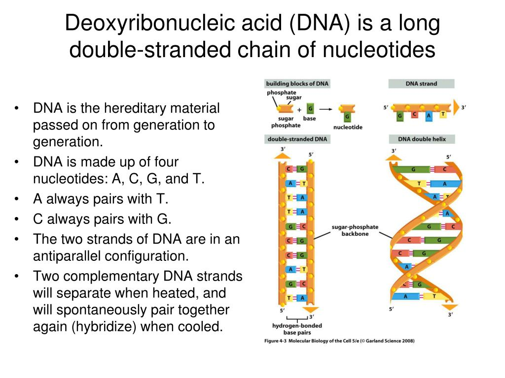A Dna Strand Has The Sequence Gttccagag Which Is The
