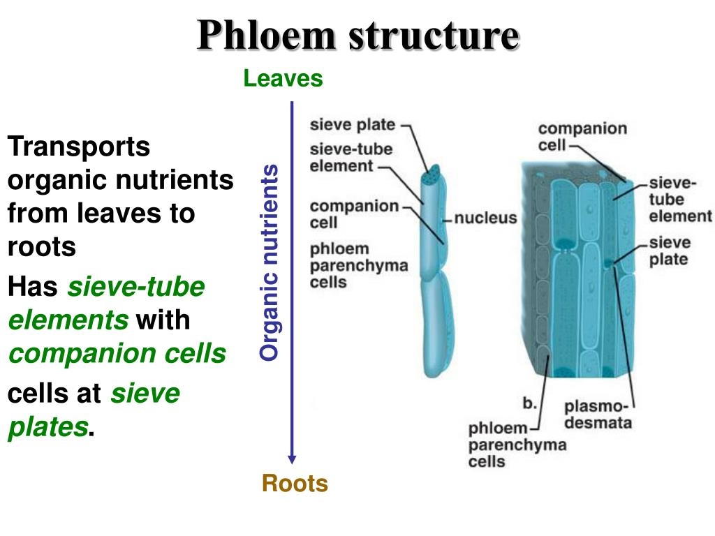 labelled diagram of xylem and phloem car air conditioning system wiring ppt vascular tissue powerpoint