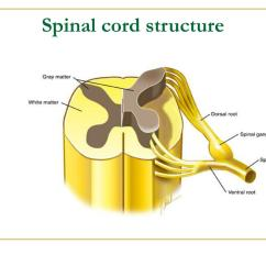 Spinal Cord Structure With Diagram Motorcycle Brake Light Switch Wiring Pictures To Pin On Pinterest