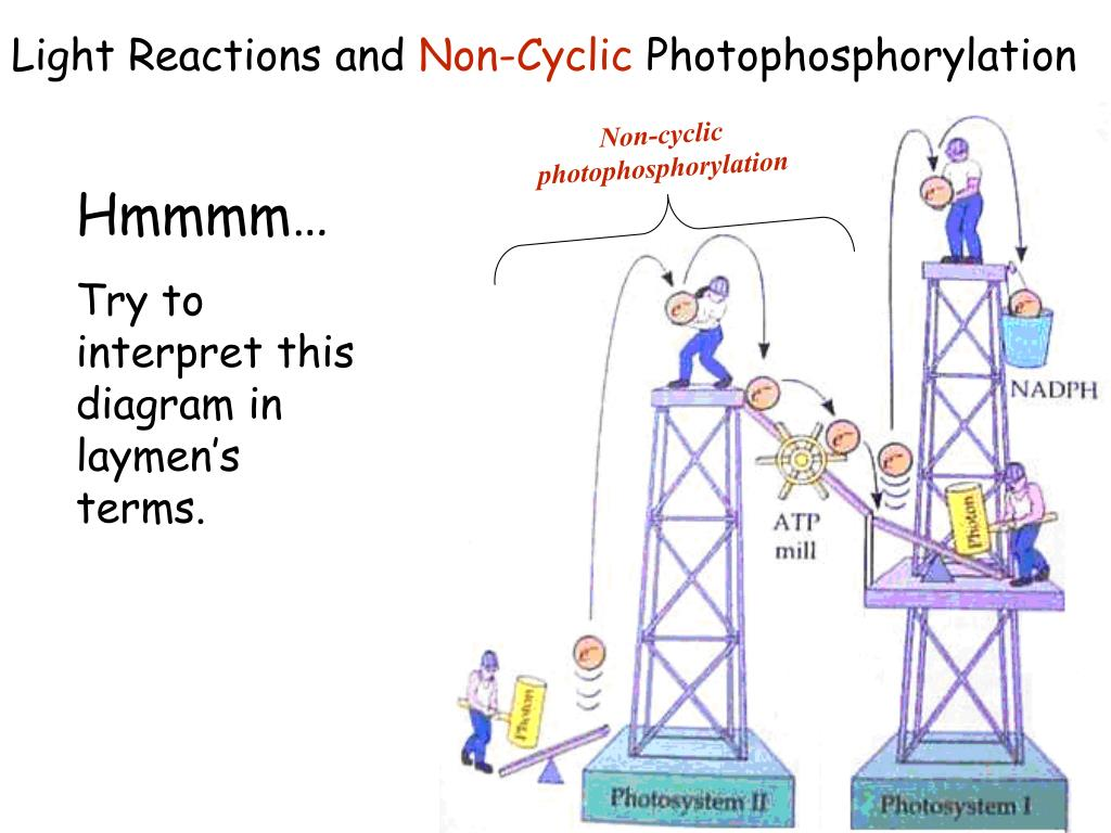 light reactions photosystem diagram 2005 chevy cobalt wiring ppt photosynthesis ib biology hl e mcintyre powerpoint