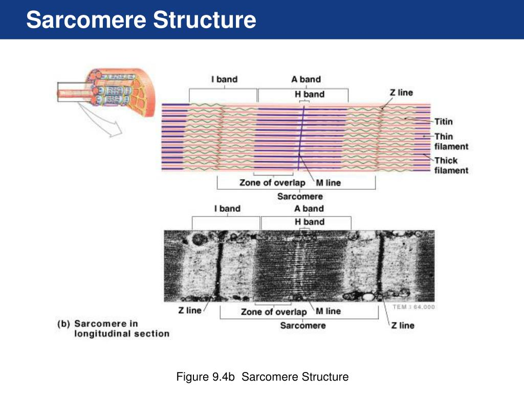sarcomere diagram to label soccer ball modular origami ppt chapter 9 powerpoint presentation id 433984