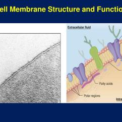 Cell Structure And Function Diagram 1994 Ford Explorer Stereo Wiring Ppt Membrane Powerpoint