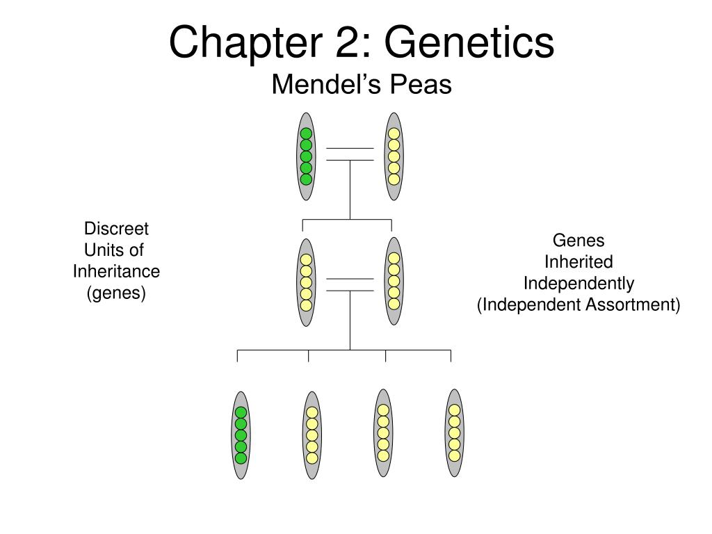 Mendelian genetics questions and answers
