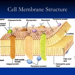 Diagram Of Fluid Mosaic Model Cell Membrane Vintage Trailer Wiring Ppt The Powerpoint Presentation Id 501873