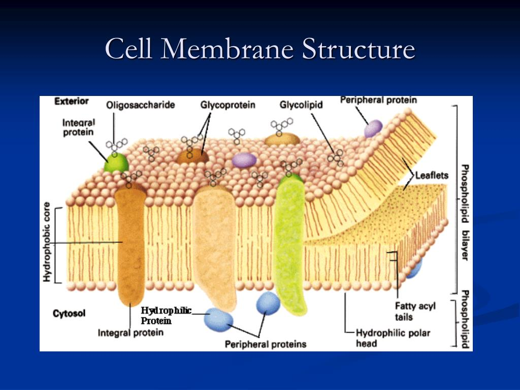 cell membrane diagram 2005 chevy equinox cooling system ppt the powerpoint presentation id 501873