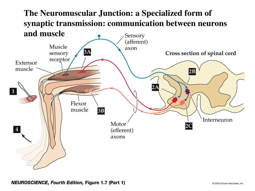 PPT - The Neuromuscular Junction PowerPoint Presentation ...
