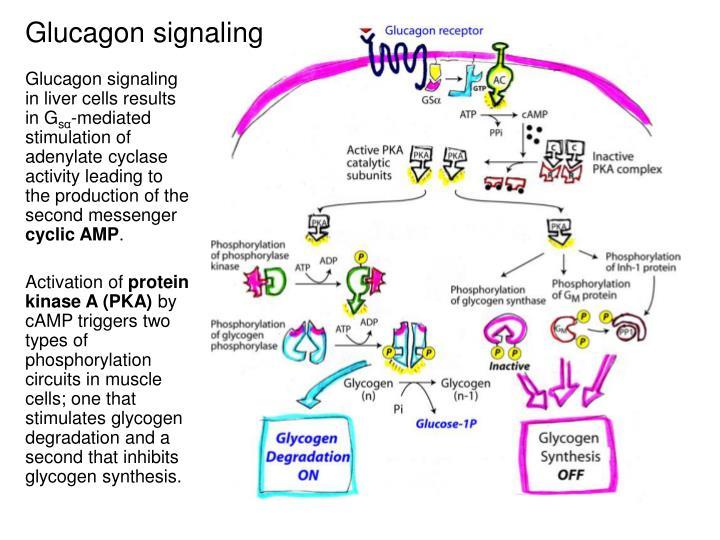 PPT - Carbohydrate Metabolism 2: Glycogen degradation ...