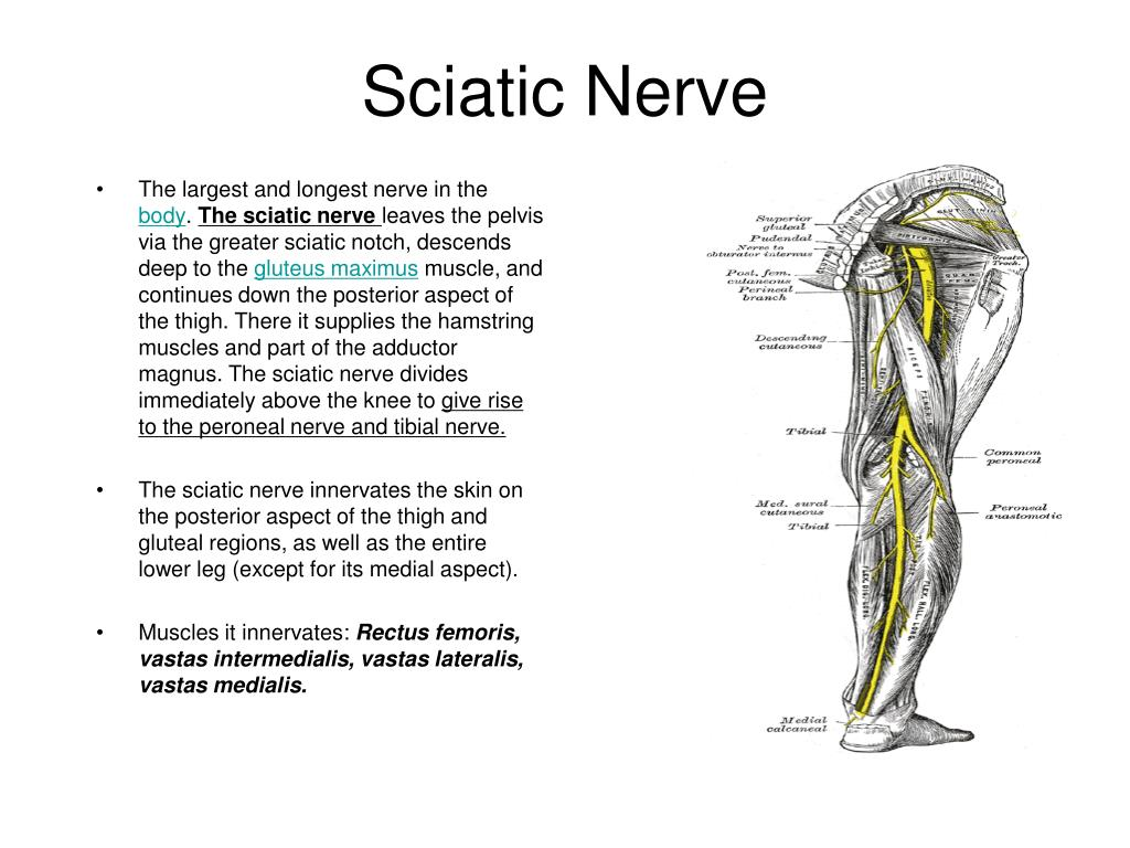 diagram of sciatic nerve leg three way wiring multiple lights ppt the knee joint powerpoint presentation id 634195