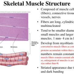Muscle Fiber Diagram Vfd Wiring Ppt Muscular System Histology And Physiology Powerpoint