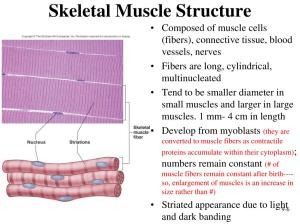 PPT  Muscular System: Histology and Physiology PowerPoint
