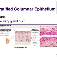 Stratified Columnar Epithelium Diagram Led Light Bar Wiring Without Relay Ppt Lecture 4a Powerpoint Presentation Id 706803