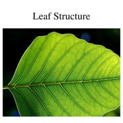 Leaf Epidermis Diagram 1990 Jeep Wrangler Stereo Wiring Ppt The Plant Body Powerpoint Presentation Id 733925