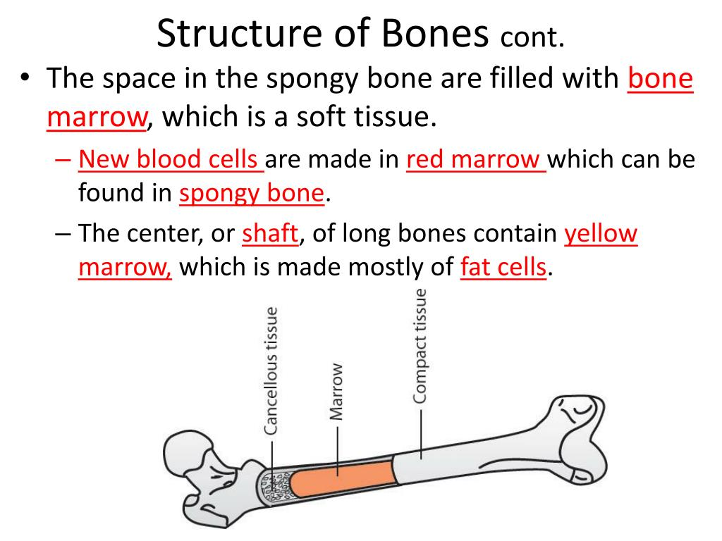 bone marrow cell diagram saltwater ecosystem ppt human biology chapter 20 support and movement