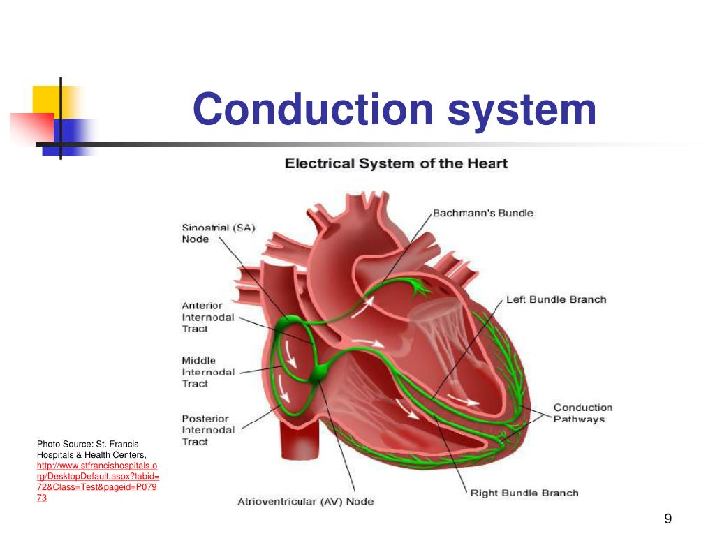 cardiac conduction system diagram sunflower plant life cycle frank starling law ppt related keywords