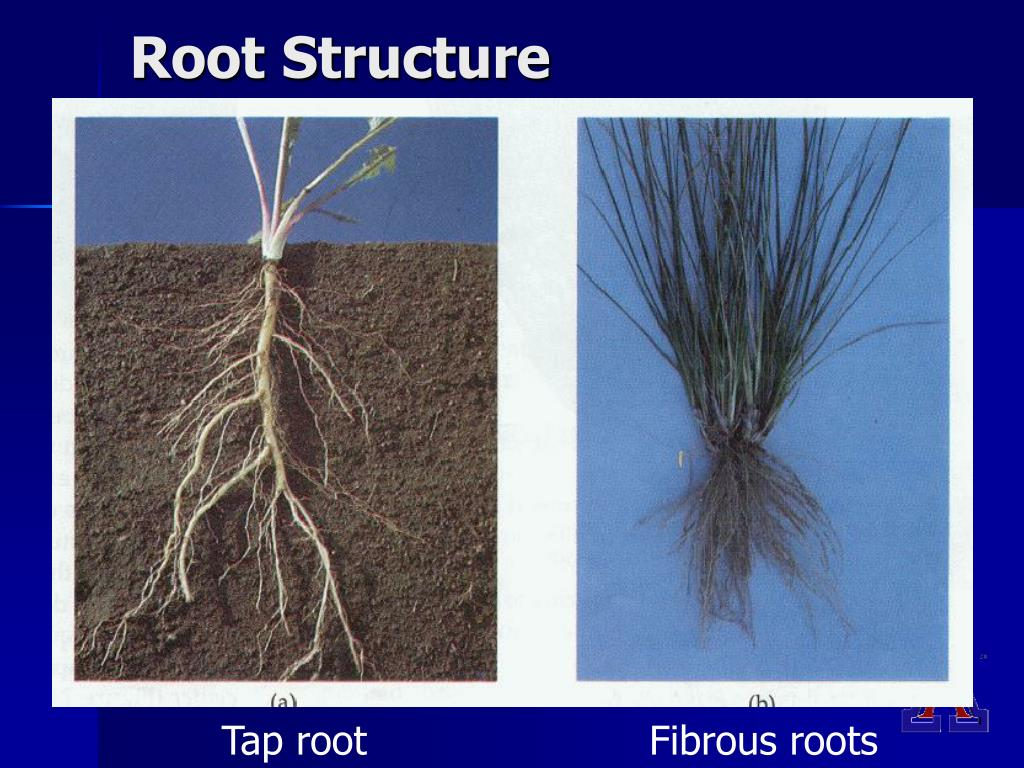 plant root hair diagram human muscle cell labeled ppt basic botany for master gardeners powerpoint