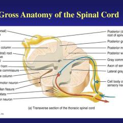 Cross Section Spinal Cord Diagram Labeled Boiler Wiring Ppt Gross Anatomy Of The Powerpoint