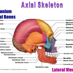 Axial Skeleton Skull Diagram Standard Trailer Wiring Facial Skeletal System Great Installation Of Human Movement And Locomotion Rh Slideshare Net Printable