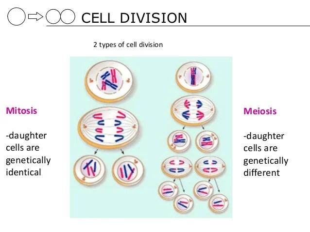 Telophase Diagram Labeled