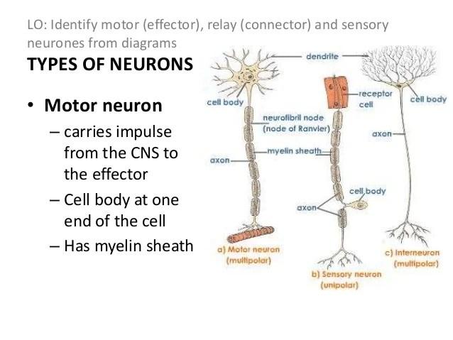simple reflex arc diagram danfoss fridge thermostat wiring nervous system
