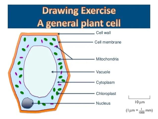 elodea leaf cell diagram duraspark wiring ford onion epidermal labeled vaculoe 16 17 kenmo lp de biology form 4 chapter 2 part 1 structure rh slideshare net protist