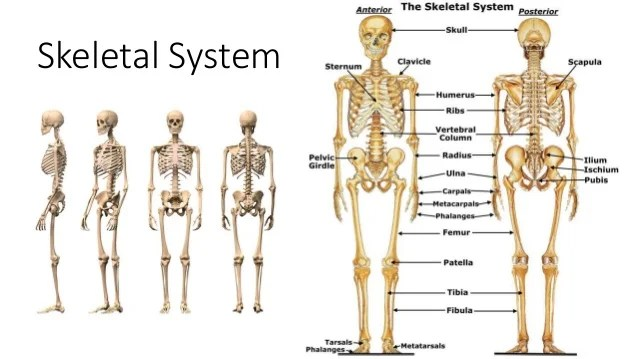skeleton diagram labeled 2002 toyota corolla engine full great installation of wiring skeletal system the human body