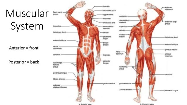 arm muscles anatomy diagram blank 2009 pontiac g6 headlight wiring muscular system