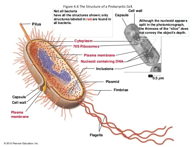 microbiology prokaryotic cell diagram labeled level 0 dfd for library management system 1 microbial world and anatomy figure 4 6 the structure of a