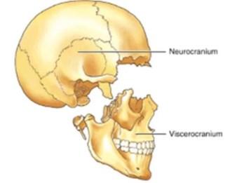 """""""neurocranium"""" anatomy ile ilgili görsel sonucu"""