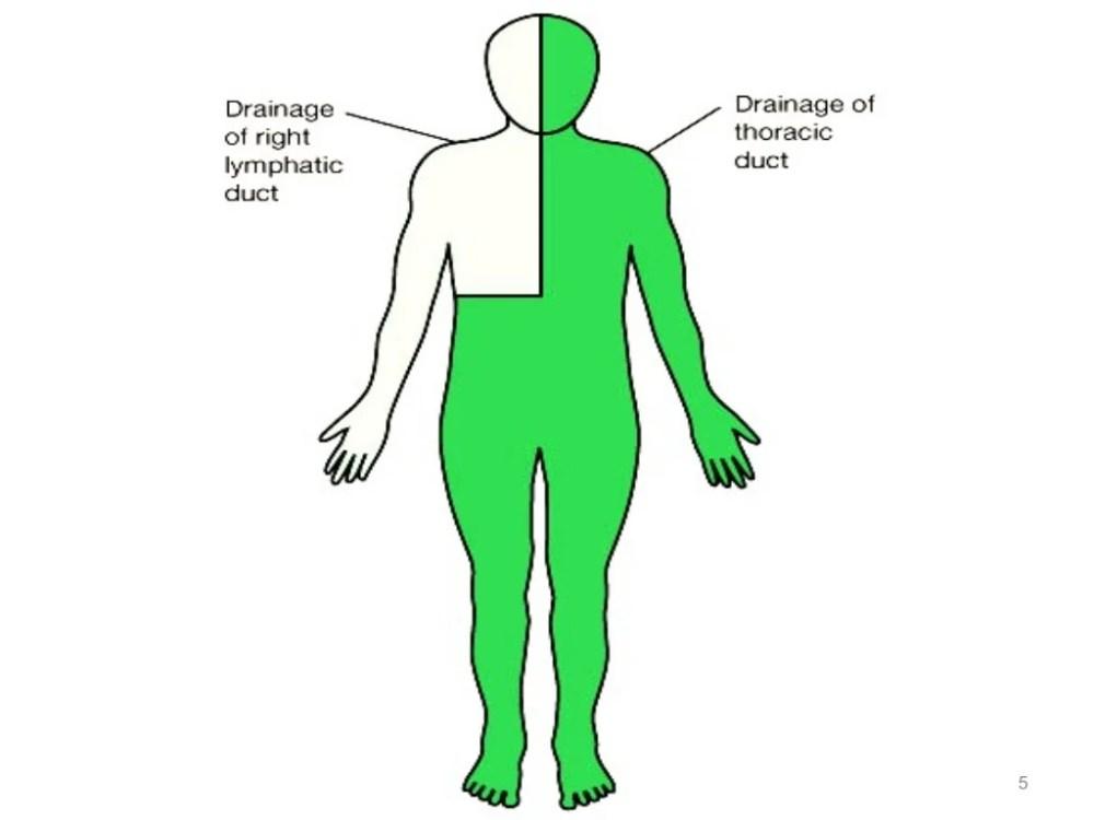 medium resolution of thoracic duct diagram