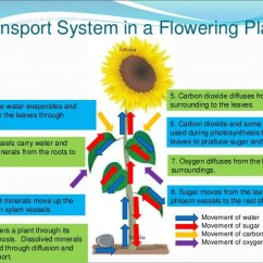 Flower Transpiration Diagram Lft Lab 10. Transport System In Organisms E-learning - Diffusion & Osmosis