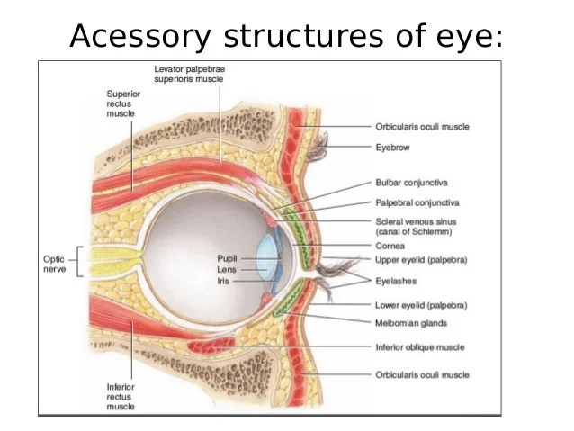 Conjunctival Sac Eye Anatomy
