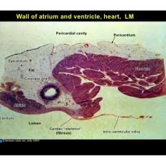 Sinoatrial Node Diagram Progressive Dynamics Power Converter Wiring 11.03.08(c): Histology Of The Cardiovascular System
