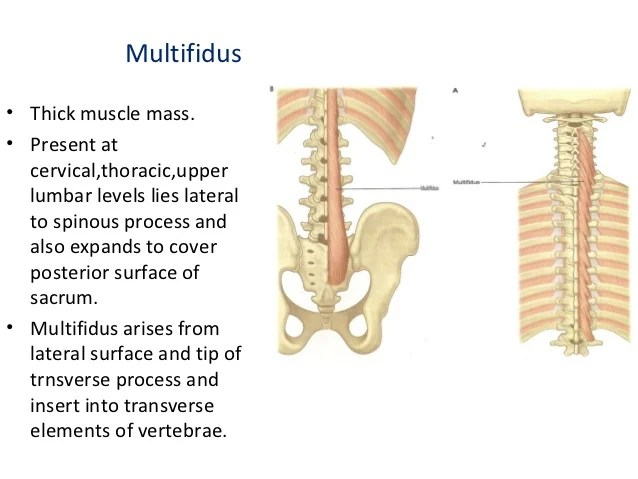 11 muscles of back dr swati