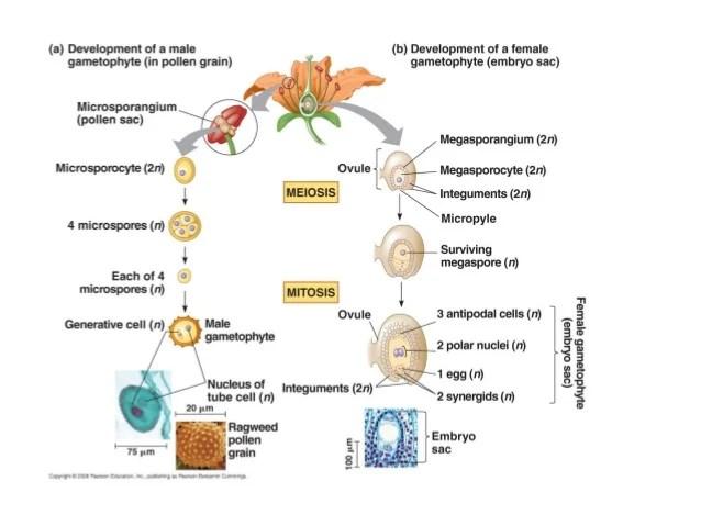 parts of a flowering plant diagram rule bilge pump wiring 130 ovule development revised