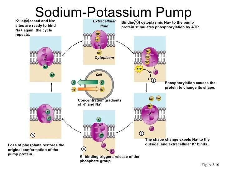 Sodium Potassium Pump Concentration Gradient Diagram