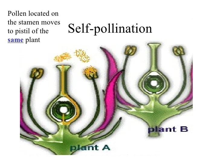 cross pollination diagram for kids alpine ktp probability mendel and genetics powerpoint 7 self
