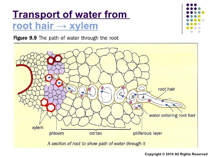 plant root hair diagram rule bilge pump wiring chapter 9 transport in plants lesson 2 - xylem and phloem structure a…