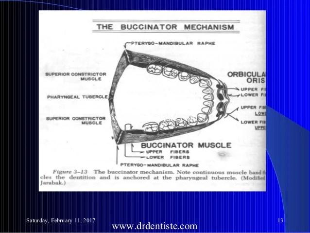 buccinator mechanism