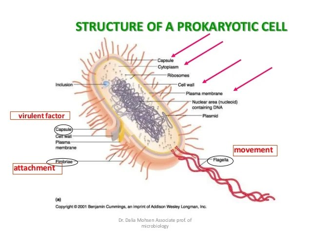 microbiology prokaryotic cell diagram labeled 12v hydraulic pump solenoid wiring medical 17 dr dalia mohsen associate prof of movement attachment virulent factor structure a