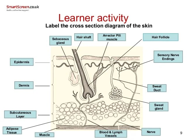 skin cross section diagram two lights one switch wiring uk all data 3003 3 321 powerpoint 2 simple 9 learner activity label the