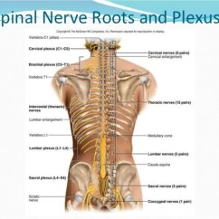 Lumbar Nerve Root Diagram 1979 Toyota Land Cruiser Wiring Cervical And Brachial Plexus 9 Spinal Roots