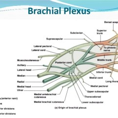 Ulnar Nerve Diagram Spal Fan Relay Wiring Peripheral Nerves Of Upper Limb