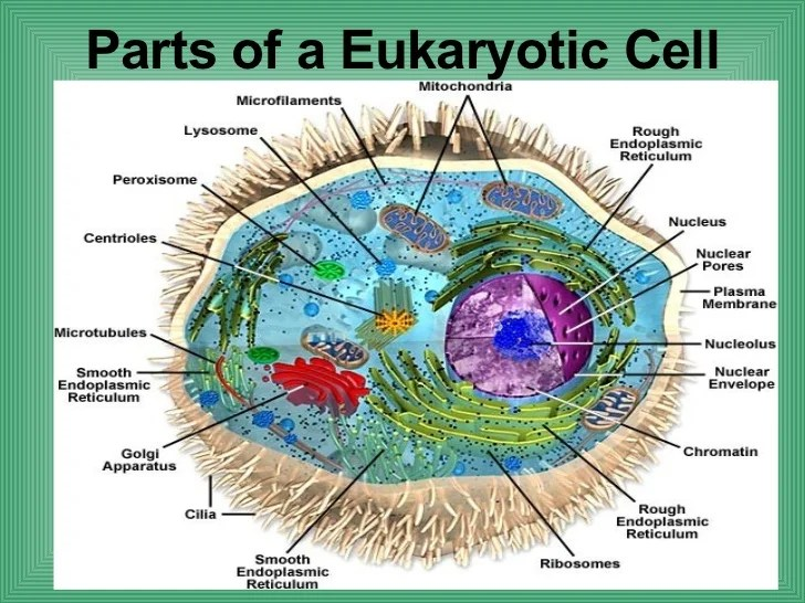 eukaryotic animal cell diagram surround sound wiring diagrams of plant cell, and prokaryotic - 5515784 ...