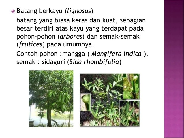 PPT Morfologi Tumbuhan  Batang