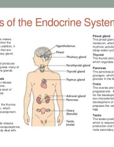 endocrine system glands also chart insaatpgroup rh