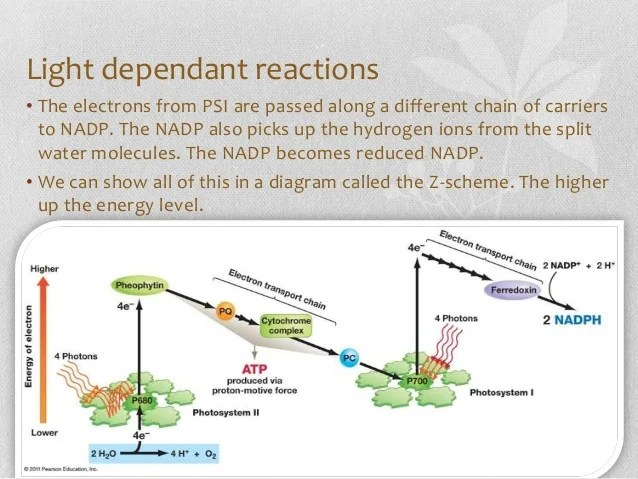 photosynthesis z scheme diagram fender blacktop jaguar hh wiring a level biology