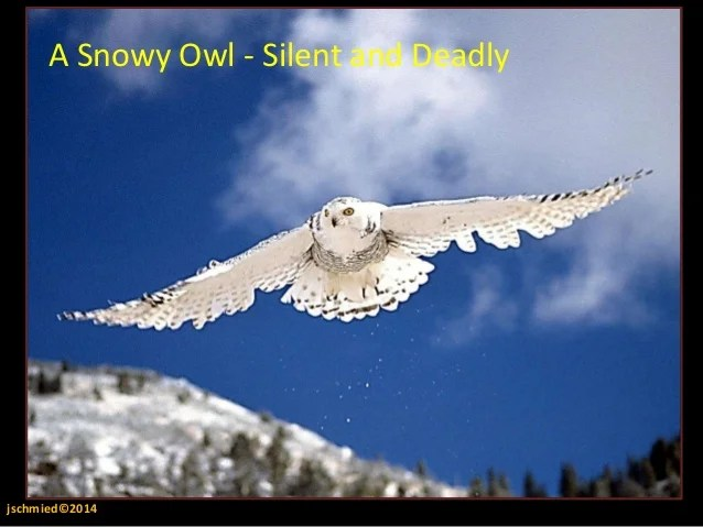 snowy owl adaptations diagram three phase motor wiring with capacitor start food webs present a silent and deadly