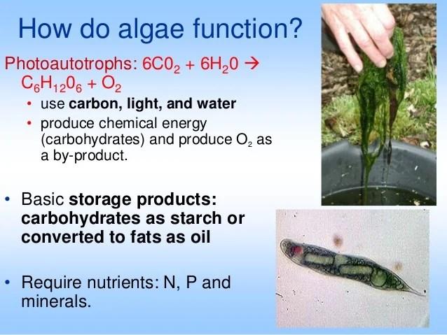 Algae ii