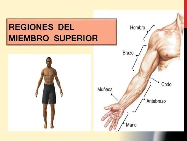 MIEMBRO SUPERIOR - ANATOMIA DEL SISTEMA NERVIOSO