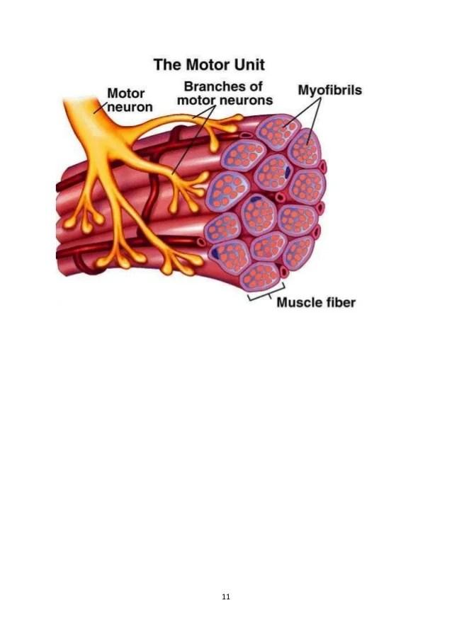 Motor Unit Anatomy Definition | Newmotorspot.co